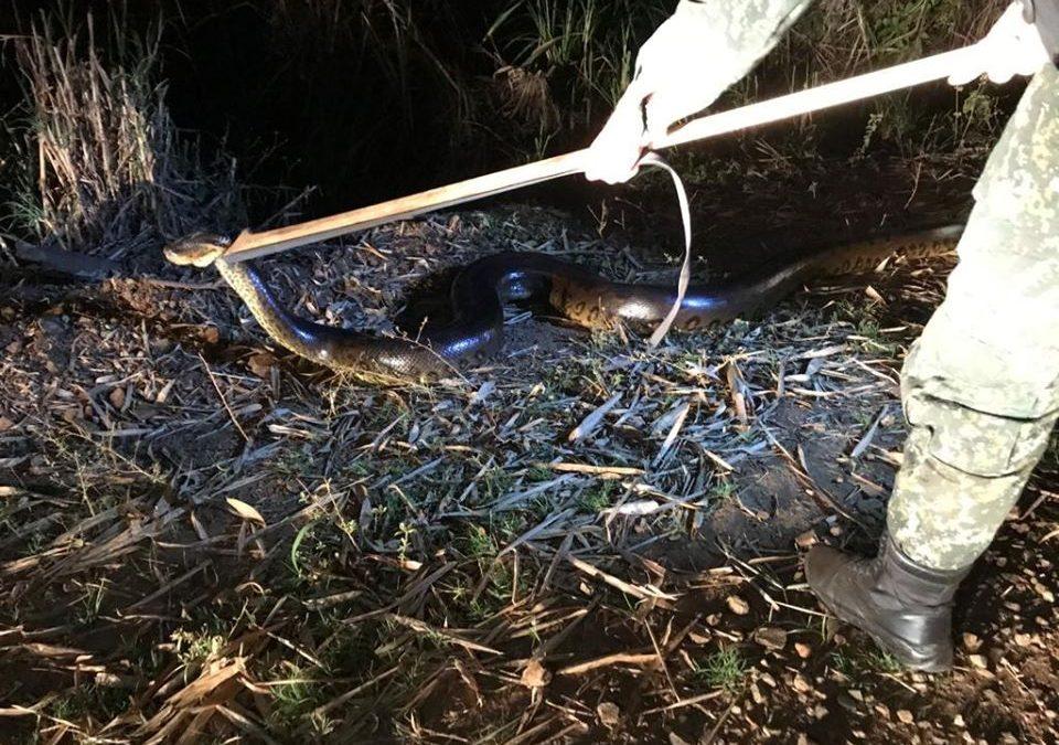 Polícia Ambiental captura sucuri de 5 metros em Santa Rita do Passa Quatro