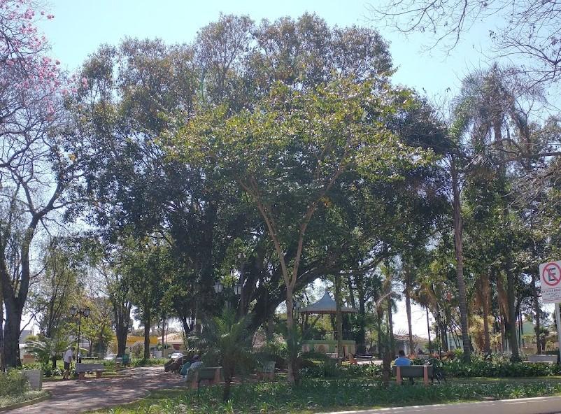 Prefeitura e Sicoob-Crediguaçu anunciam tratamento nas figueiras do Jardim Velho